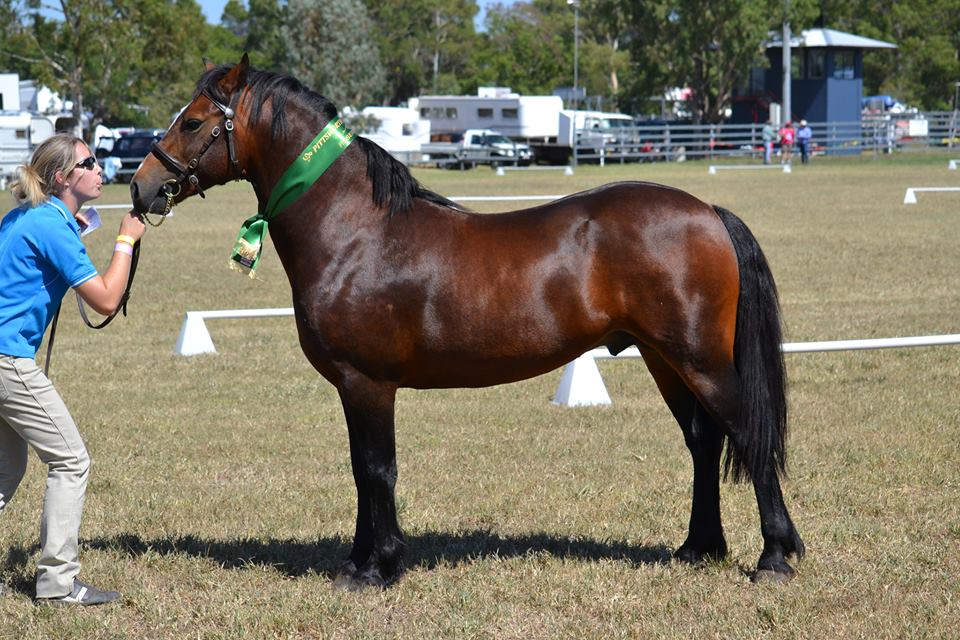 Burrowa Apollo at 1st Show