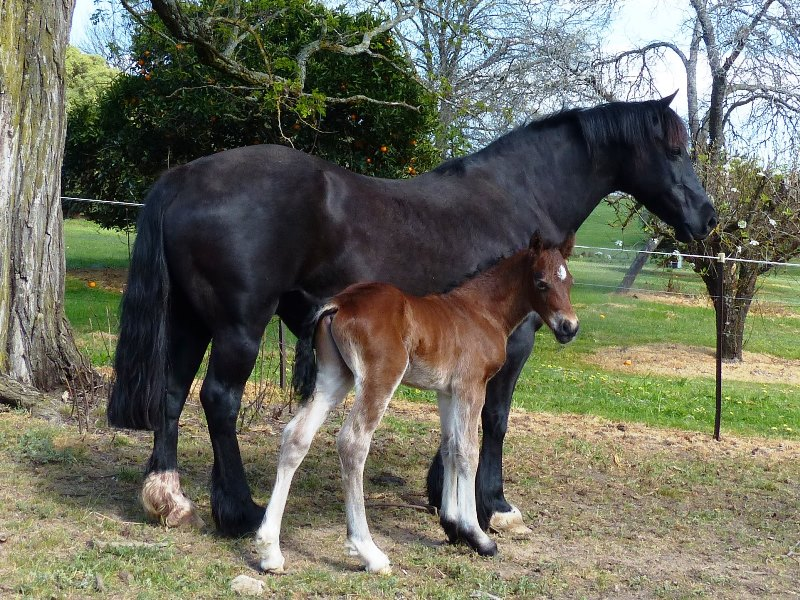 Burrowa Phoenix with Burrowa Black Betsy - colt by Achilles