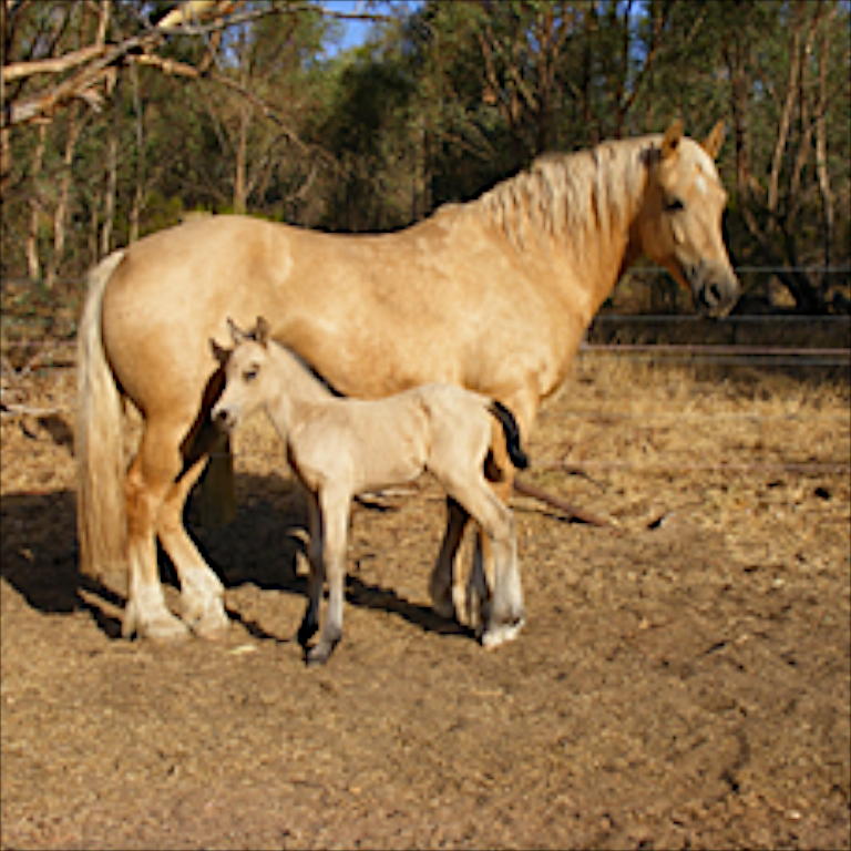 Burrowa gwenllian with filly by Achilles